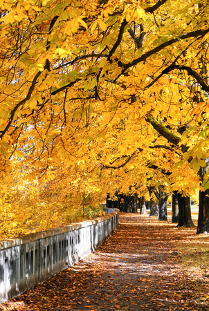 Colorful autumn park with yellow chestnut trees