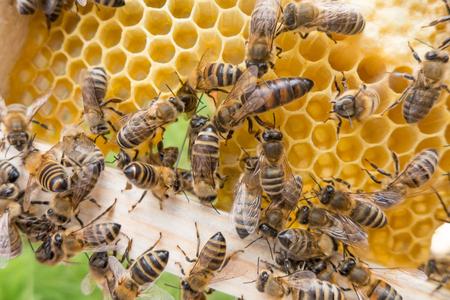 Bijenkoningin in honingbij vol bijen Stockfoto - 83991043