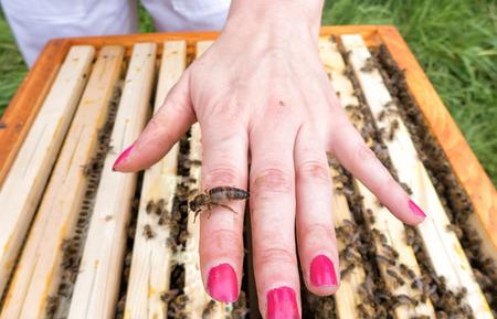 Bee queen on hand of beekeeper