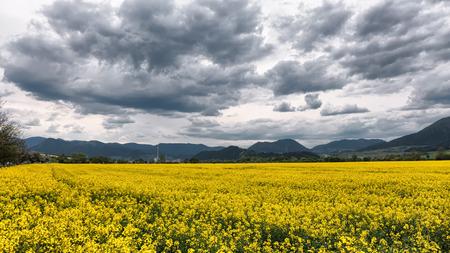 ruzomberok: Yellow rapeseed field and dark clouds on the sky. City Ruzomberok, Slovakia