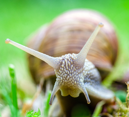 babosa: Macro photography of big land snail on the ground