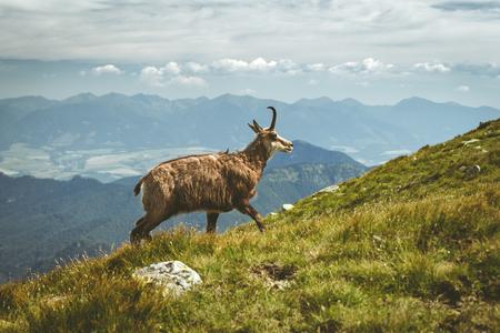 Chamois des Tatras dans les Basses Tatras, Slovaquie
