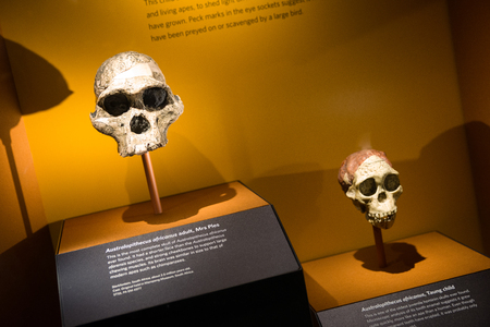 LONDON, UNITED KINGDOM - MAY 13: Skulls of Australopithecus africanus in Natural history museum on May 13, 2018 in London