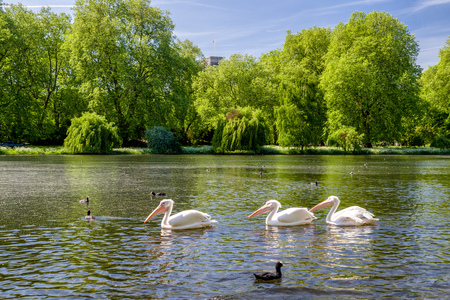 Pelicans on lake in St.James park in London, Great Britain