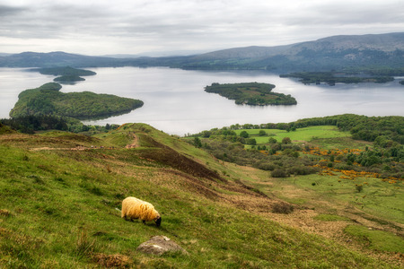 View from Conic hill on Loch Lomond, Scotland.  Sheep on pasture 版權商用圖片