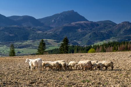 Rebaño de ovejas en osil seco. Hill Choc al fondo.