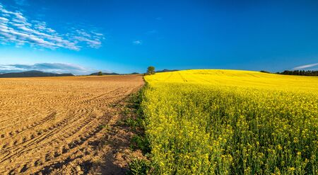 Half plowed field wtih dry soil and half cultivated field with rapeseed field
