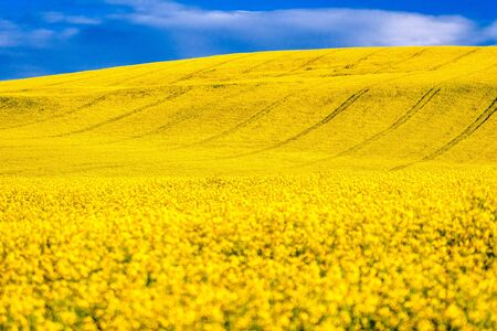 Canola flower. Yellow rapeseed field in bloom and blue sky