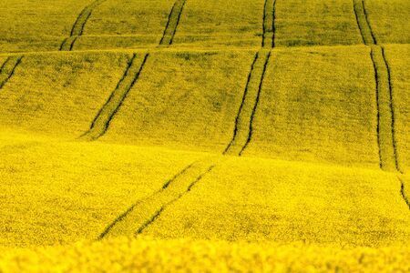 Large yellow agriculture canola rapeseed field in bloom Stock Photo - 149267209