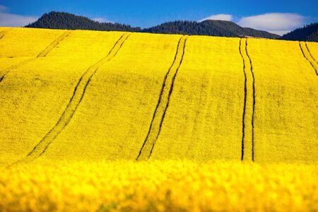 Yellow rapeseed field in bloom mountains at background
