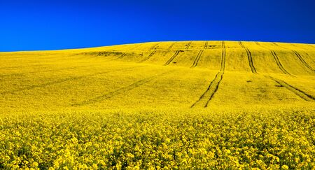 Large yellow agriculture rapeseed field in bloom panorama