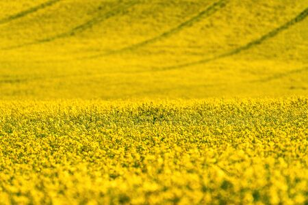 Canola flower and large yellow agriculture rapeseed field in bloo Stock Photo