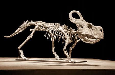 Dinosaur skeleton - Protoceratops on black background Editorial