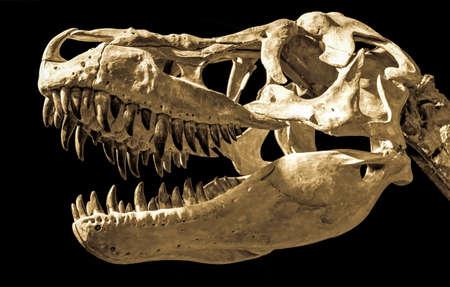 Dinosaur fossil. Head of Taubosaurus Bataar on black background. Stock Photo - 150491282
