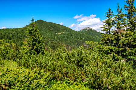 Coniferous trees in forest and hills in Western Tatras, Slovakia