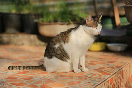 Thailand cat is a beautiful moggy in Asia then sitting outdoor.
