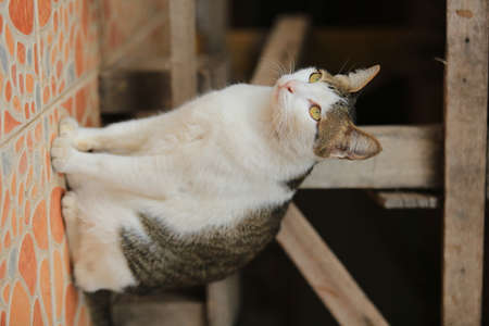 moggy: Thailand cat is a beautiful moggy in Asia then sitting outdoor.