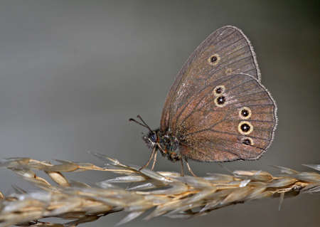 aphantopus: A ringlet butterfly resting on a wheat straw