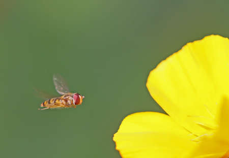 bee on flower: Bee flying for a yellow flower