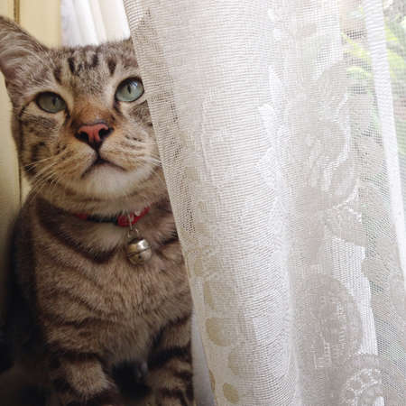 white curtain: cat behind white curtain Stock Photo