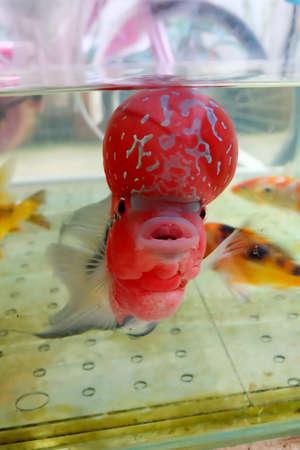 big head: big head fish