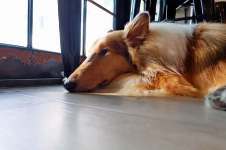 collie: Sleeping Collie Dog Stock Photo