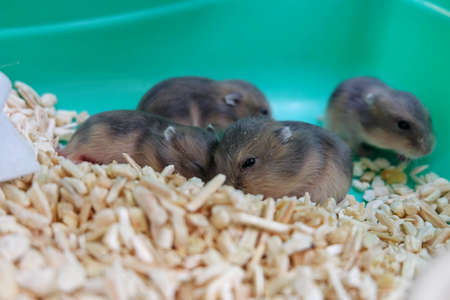 white winter: Baby Winter White Hamsters