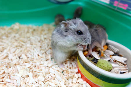 white winter: Winter White Hamsters eating food