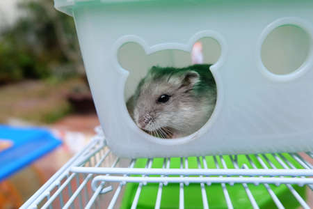 Winter white hamster in a small house