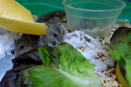Baby Winter White Hamsters eating lettuces Stock Photo