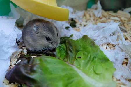 Baby Winter White Hamster eating lettuce