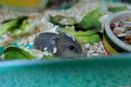 Baby Winter White Hamster eating