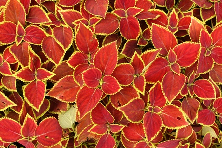 red leaves background Stock Photo