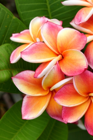Pink Plumeria flowers photo