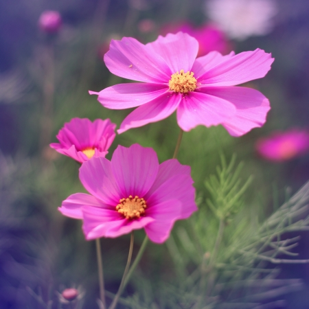 Vintage style of Cosmos flowers