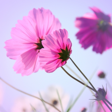 Vintage style of Cosmos flowers photo