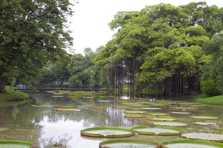 Big banyan tree near victoria lotus pond in the park