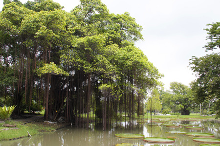 Big banyan tree near victoria lotus pond in the park