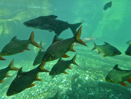 rutilus: School Of Fish In Aquarium Stock Photo