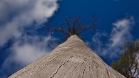 blue widescreen widescreen: Old Dead Tree Stock Photo