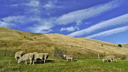 aotearoa: Sheep Pasture Under Blue Sky