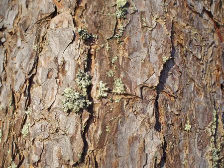 bark texture: Pine Bark Texture