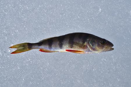 perch: Perch Fish Stock Photo