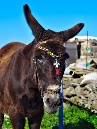 Big eared Greek donkey closeup.
