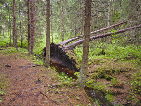 Fallen trees by a small creek in coniferous forest. Stock Photo