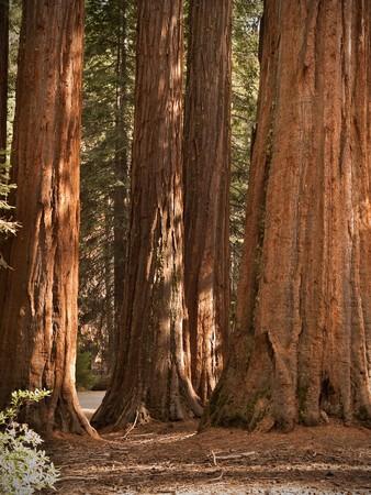 yosemite: Yosemite National Park - Mariposa Grove Redwoods