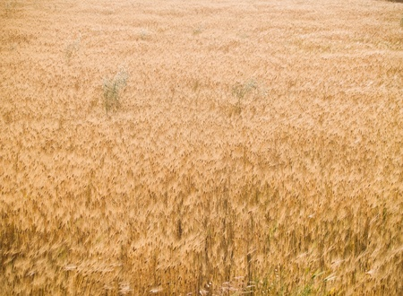 wheat field photo