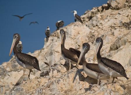 islas: Wildlife on Islas Ballestas in Peru, Paracas Natural Park Stock Photo