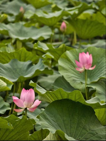 Chinese water lilies photo