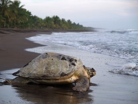Sea turtle crawling from the beach to the sea in Tortuguero National Park, Costa Rica photo